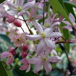 Clematis Apple Blossom (Immergrün)
