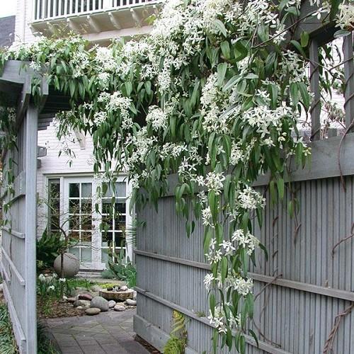 immergruene hecke mit kletterpflanzen ohne efeu 2 5 meter. Black Bedroom Furniture Sets. Home Design Ideas