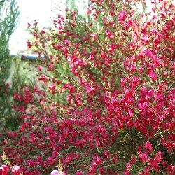 Besen-Ginster 'Boskoop Ruby' / Cytisus scoparius 'Boskoop Ruby'