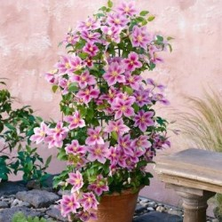 Kletterpflanzen Für Balkon Kaufen? - Clematis Und Efeu Online Shop Kletterpflanzen Balkon Und Terrassen