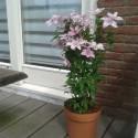 Clematis Hagley Hybrid für Balkon und Terrasse