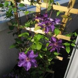 Clematis Jackmanii für Balkon und Terrasse