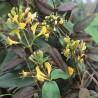 Geissblatt henryi (Immergrün)