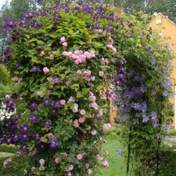 Kletterrose New Dawn + Clematis Etoille Violette