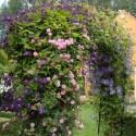 Clematis Etoile Violette + New Dawn Kletterrose