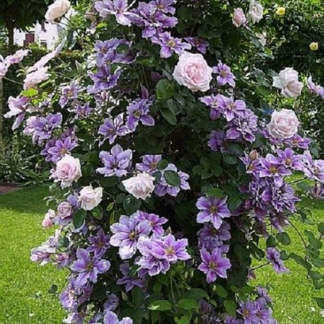 Clematis Nelly Moser + New Dawn Kletterrose