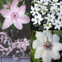 Clematis Mix Rosafarben-Weiß