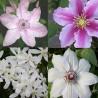 rosafarben-weiss 2