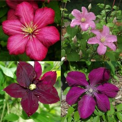 Clematis Mix Rot 2
