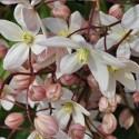 Clematis Hendersonii Rubra (Immergrün)