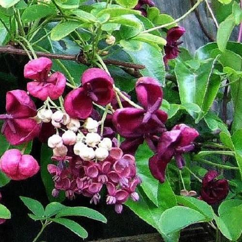 Kletterpflanze Immergrün fingerblättrige klettergurke akebia kaufen clematisonline de