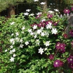 Immergruene Hecke mit Kletterpflanzen (2 meter): 100% Sichtschutz