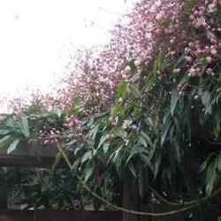 Immergruene Hecke mit Kletterpflanzen ohne Efeu (2,5 Meter)