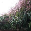 Immergrüne Hecke mit Kletterpflanzen ohne Efeu (5 Meter)