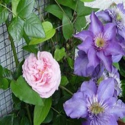 Clematis The President + New Dawn Kletterrose