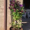 Clematis Etoile Violette (für Balkon und Terrasse)