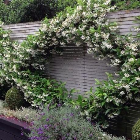 Sternjasmin (Immergrün) für Balkon und Terrasse