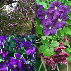 Clematis-Kletterpflanzen Mix Blau-Violett