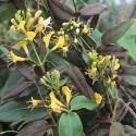 3 x Geissblatt Henryi (Lonicera) Kletterpflanzen: 3 kaufen/2 bezahlen/Gelb