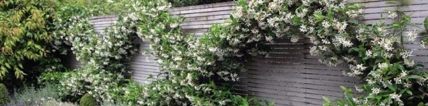 kletterpflanzen f r balkon terrasse online. Black Bedroom Furniture Sets. Home Design Ideas